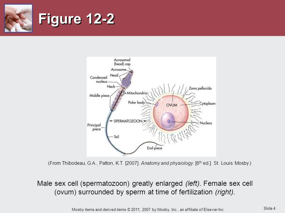 Figure 12-2 (From Thibodeau, G.A., Patton, K.T. [2007]. Anatomy and physiology. [6th ed.]. St. Louis: Mosby.)